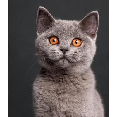 Чем правильно кормить британского котенка: корм или натуральное питание? Что нельзя давать котятам?