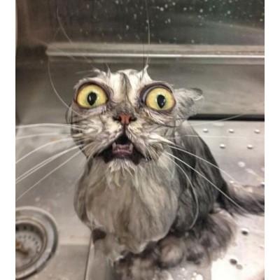 Купание кота: надо ли купать или так пойдет?